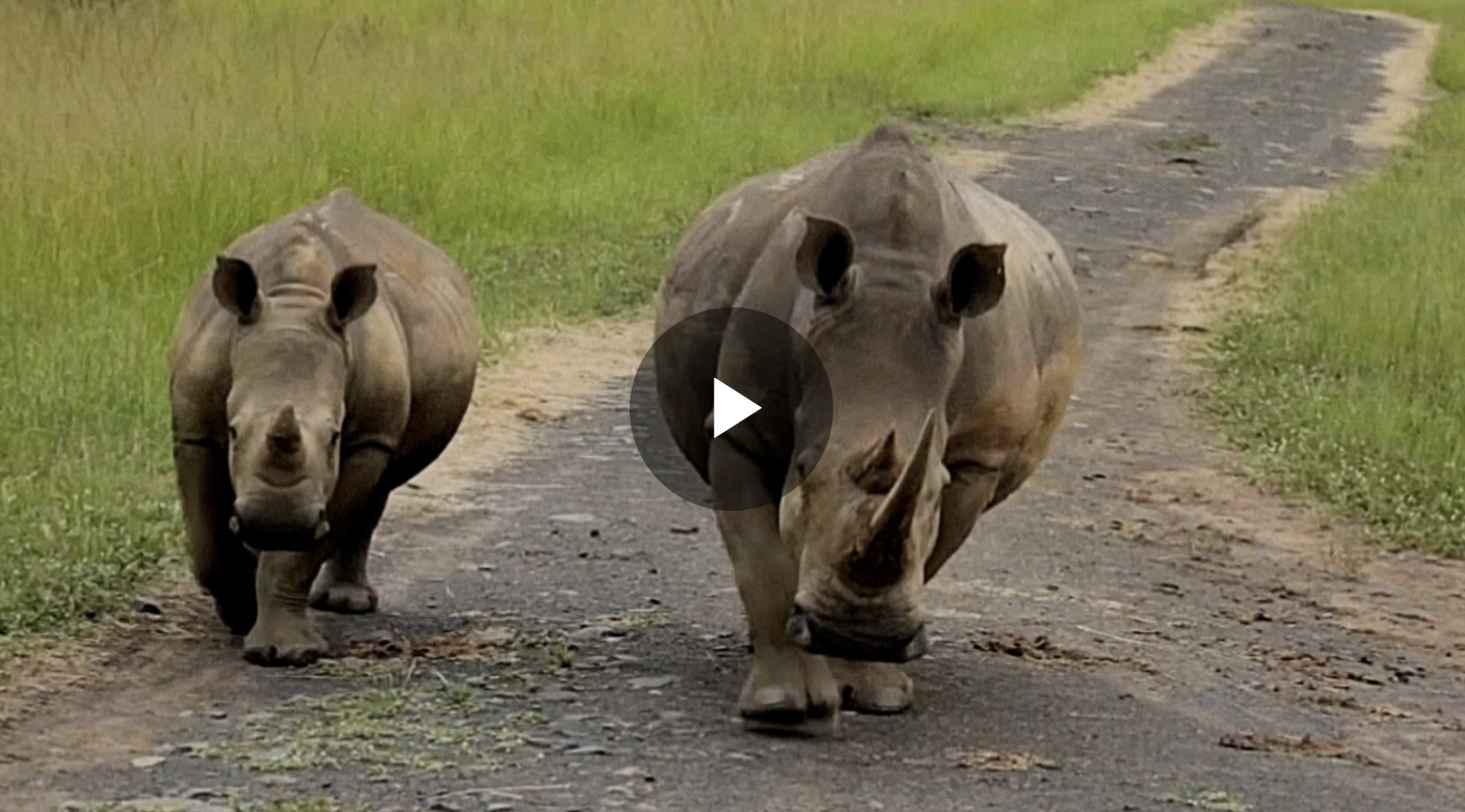 African black rhino population shows 'modest' increase